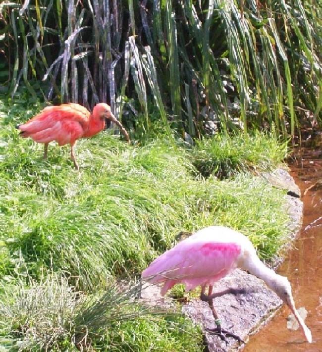 ibislepelaar