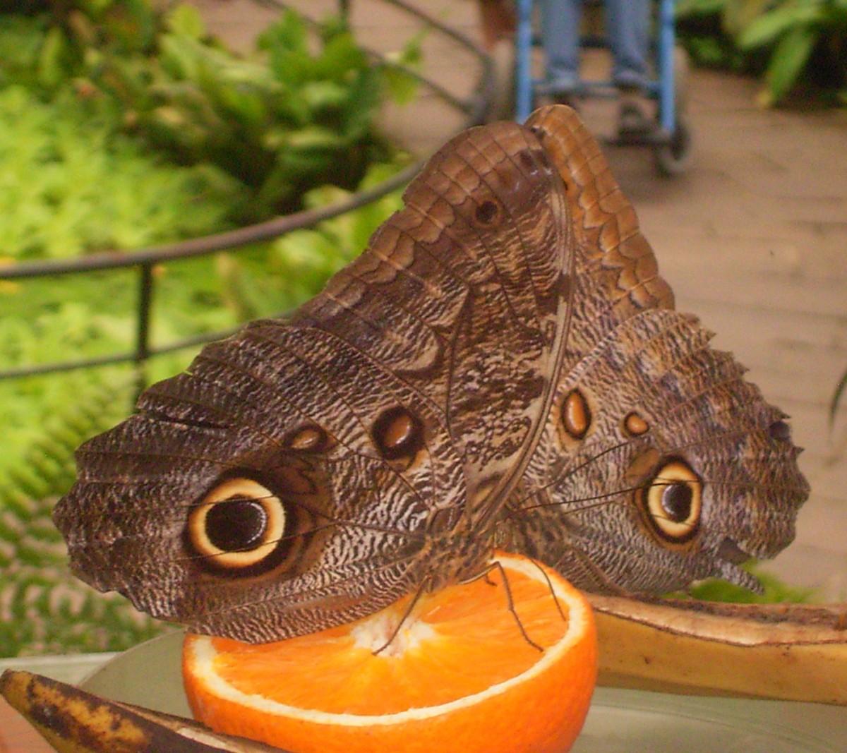 vlinders11