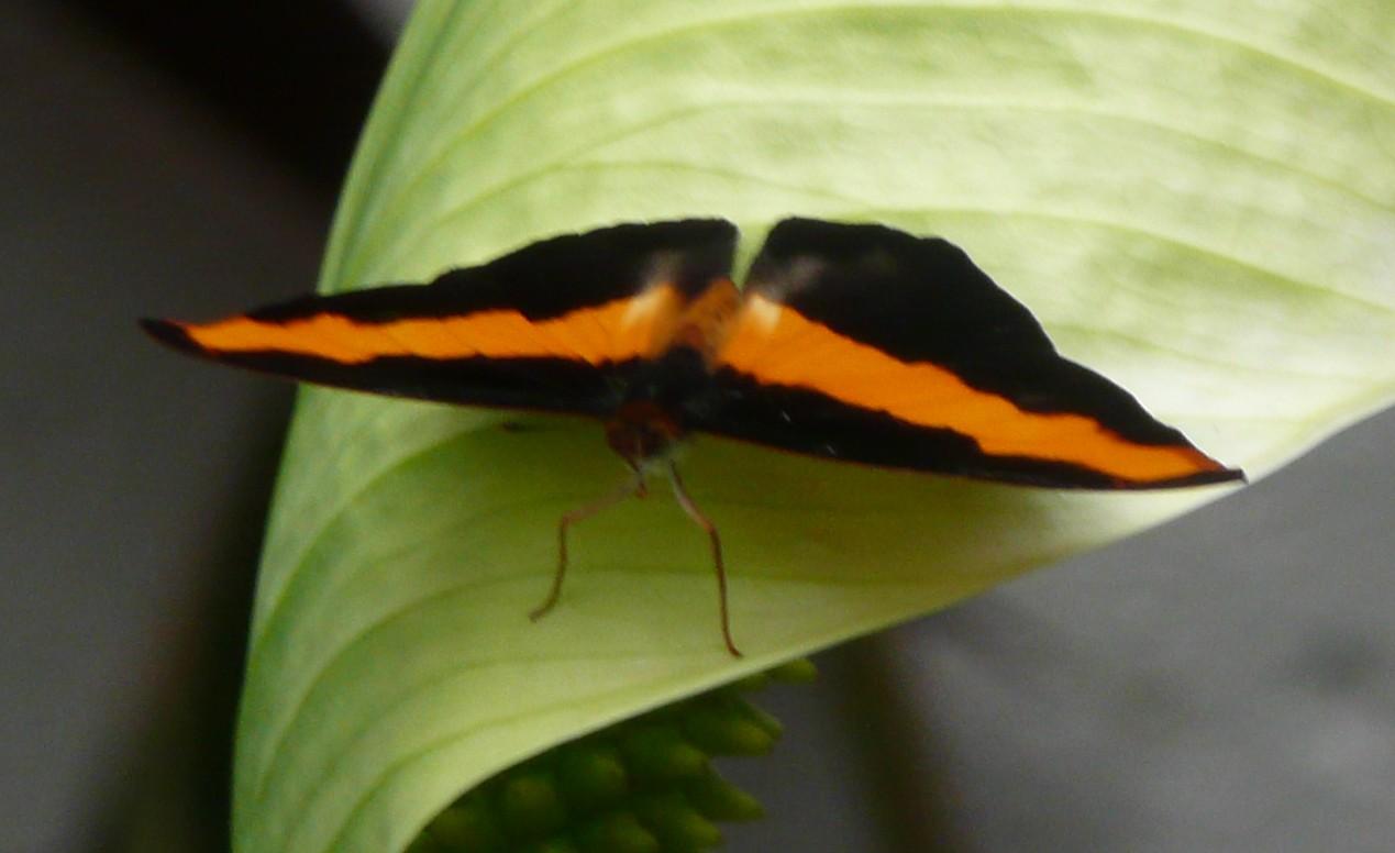 vlinders6